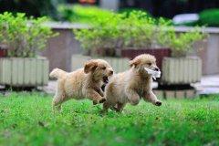 谈谈金毛幼犬疫苗接种问题