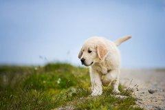 金毛幼犬怎么喂成犬怎么喂?
