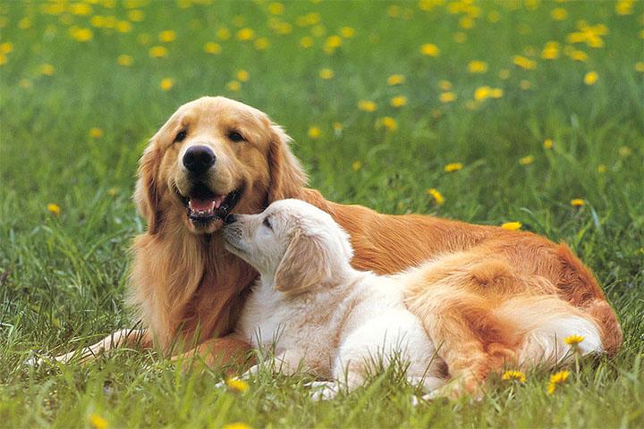 狗狗角膜炎怎么治疗