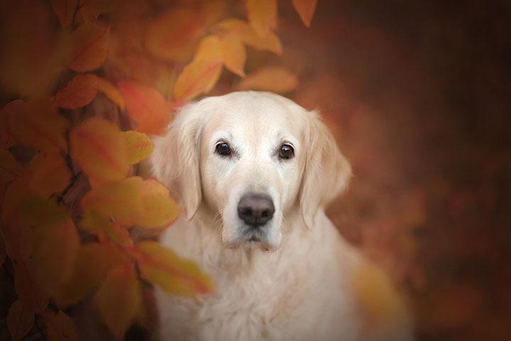 金毛犬训练方法:禁止法和奖励法