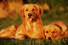 母犬的生殖系统介绍