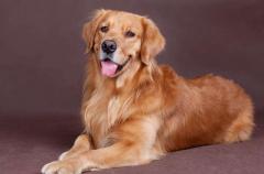狗狗过敏性皮炎